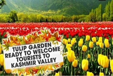 Kashmir Glitters With Tulip Again